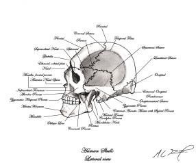 Human Skull, Left Lateral, Osteology; Annotated. MC Gilbert 2019