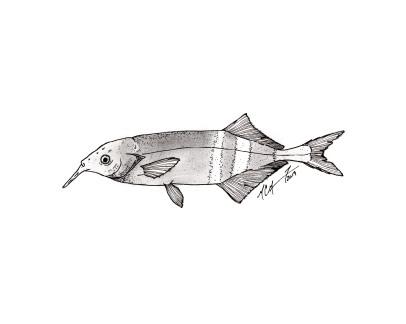 Gnathonemus petersii, Peters' elephantnose fish. #SundayFishSketch. MC Gilbert 2019