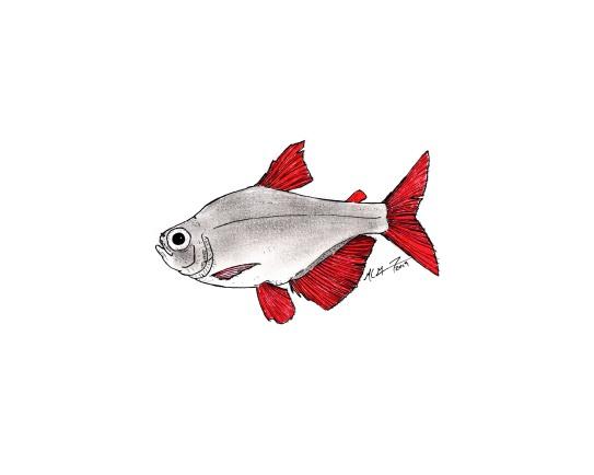 Hyphessobrycon columbianus. #SundayFishSketch. MC Gilbert 2019