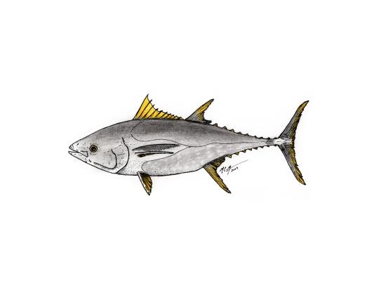 Thunnus orientalis, Pacific bluefin tuna. MC Gilbert 2019