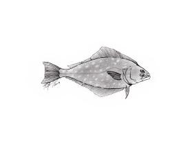 Hipoglossus hipoglossus, Atlantic halibut. #SundayFishSketch. MC Gilbert 2019