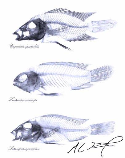 Comparative Anatomy of Three South American Cichlids. From top to bottom - Caquetaia spectabilis, Laetacara curviceps, & Satanoperca jurupari. MC Gilbert 2019